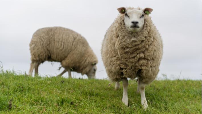 Ve Skotsku vydražili ovci za rekordní cenu. Na kolik milionů přišla?